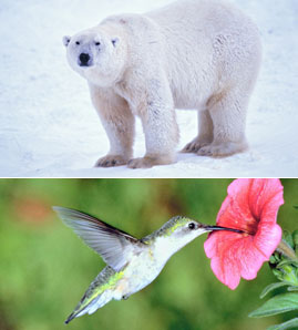 Polar Bear and Hummingbird