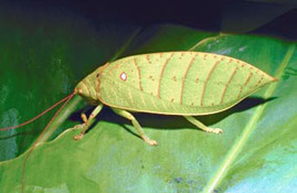 Leaf-shaped bug