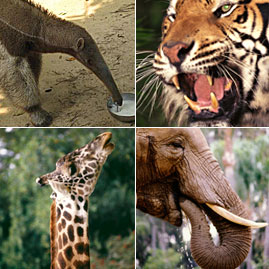 Creature Features: anteater, tiger, giraffe, elephant