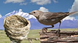 Cowbird and Nest
